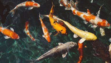 Pelatihan Tips for Making Quality Fish Feed
