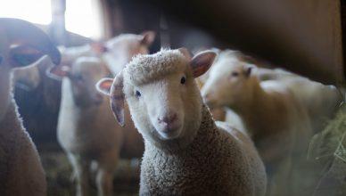 Training Pembuatan Usaha Ternak Kambing dan Domba